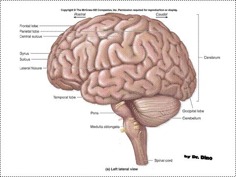 brain medulla function images - reverse search, Human body