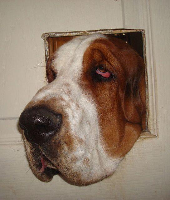 Basset-hound 10 mois by eda71, via Flickr