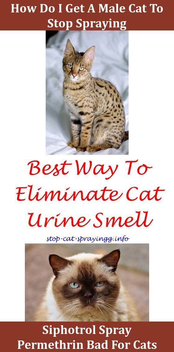 Cat Peeing Dogs Why Is My Cat Spraying When It Is Neutered How To