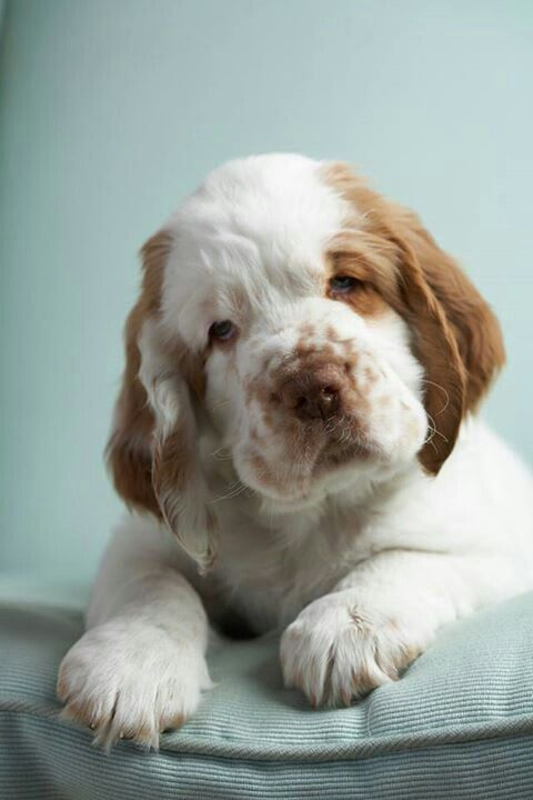 Clumber Spaniel Pup