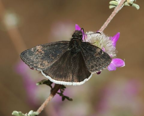 Funereal Duskywing (Erynnis funeralis) Butterfly on Santa Catalina Prairie Clover (Dalea pulchra)...By Artist Unknown...
