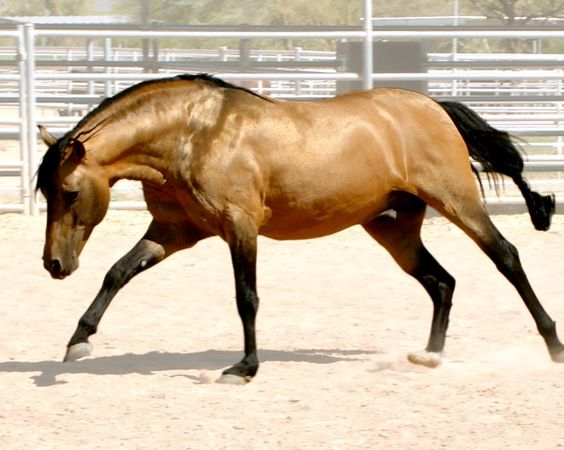 A horse of the Mangalarga Marchador breed of Brazil
