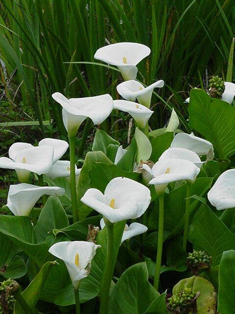 Rows And Rows Of Lilies Calla S Are My Favorite White Flowers Garden White Flowers Arum Lily