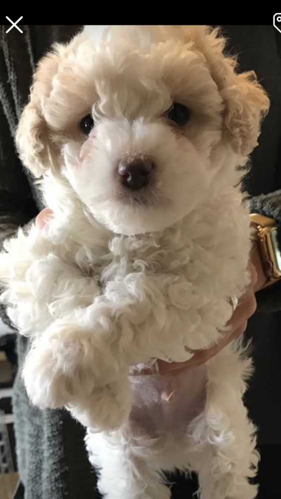 Colton A Male Maltipoo Puppy For Sale In Fort Wayne Indiana