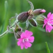 Late summer flowering bee friendly plant. Click image to learn more and to add to your own plant list in Shoot. Botanical name: Silene dioica  Other names: Red campion    Genus: Silene    Species: S. dioica - S. dioica is a mat-forming, semi-evergreen perennial wildflower with ovate leaves and small clusters of purple-pink flowers on erect stems from late summer.