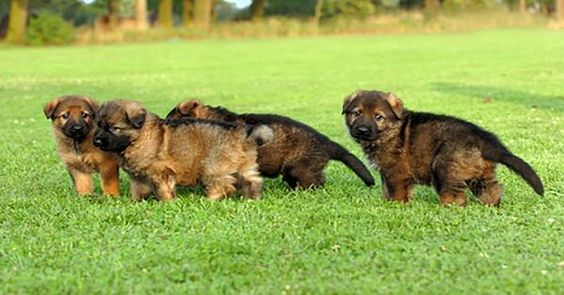 How To Find The Right German Shepherd Puppy For You German