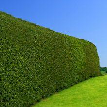 Holly Hedge--NIce alternative to Privet