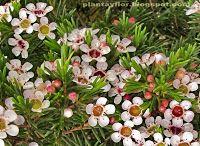 Plantas y flores: Chamelaucium uncinatum