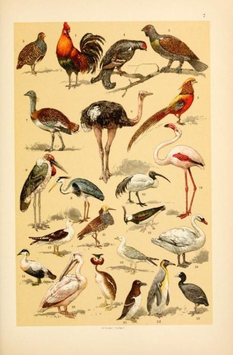 Free Vintage Illustrations Of Wild Animals Birds Image 5 Free Vintage Illustrations Vintage Illustration Scientific Illustration Animal Illustration