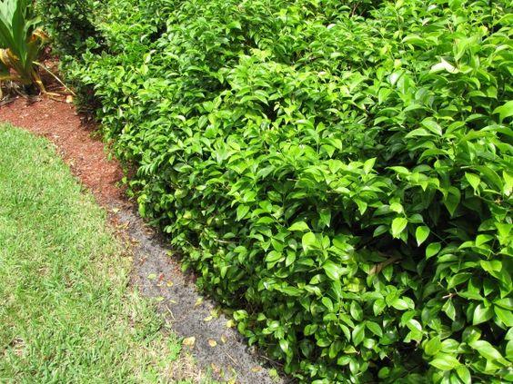 Wax jasmine hedge landscape pinterest wax jasmine for Wax landscape