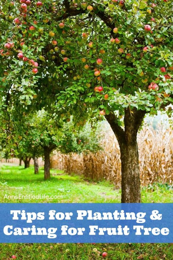 Good Fruit Trees For Backyard :  for Planting and Caring for Fruit Trees  Fruit Trees, Fruit and Tips
