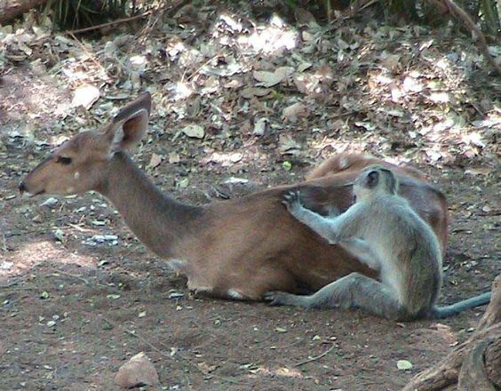 A deer and monkey relax together