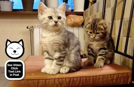 Two cute kittens playing together on a chair.  http://www.catvideooftheweek.com/videos/view/3049  #cvotw