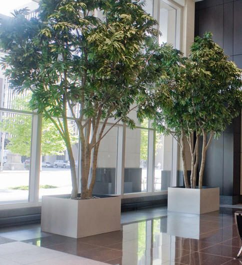 two large ficus trees in large planters by planterdesigns. Black Bedroom Furniture Sets. Home Design Ideas