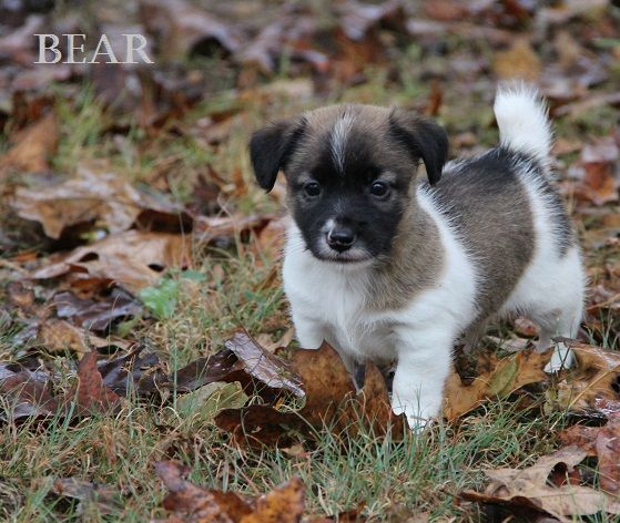 Available Terrier Puppies Shorty Jack Russells For Sale In Ar