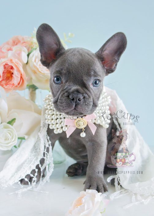 Blue Frenchie Puppy By Teacups Puppies Boutique Blue