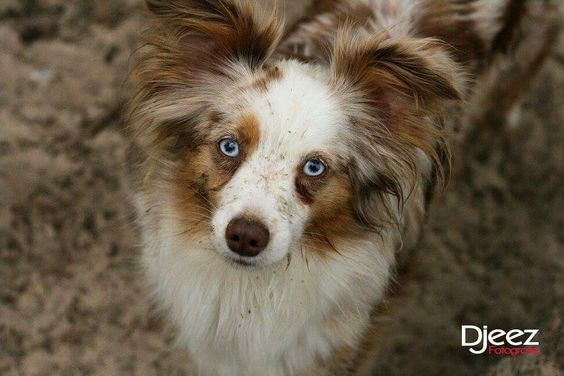 Toy / Mini Australian Shepherd