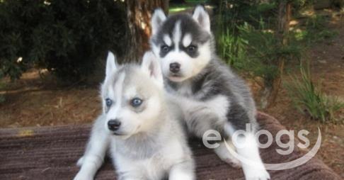 Funny Siberian Husky Mini In 2020 Husky Dogs