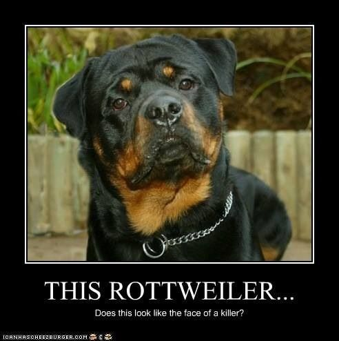 Rottweiler Rottweiler Rottweiler Rottweiler Puppies Funny Animal Quotes