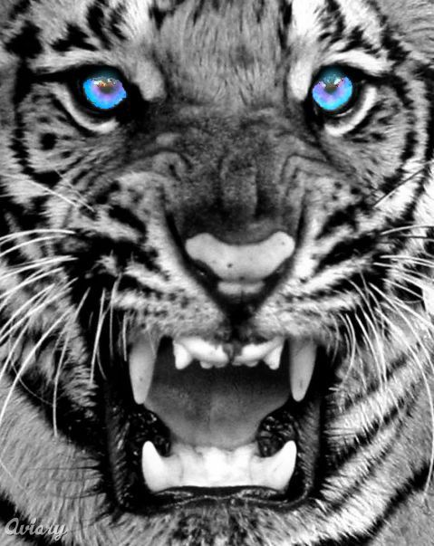 White Tiger with Blue Eyes | White Tigers With Blue Eyes,tiger, tigers, tiger picture, bengal tiger ...