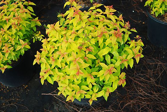 Spirea, Gold Flame - need 3 for backyard, west side of house