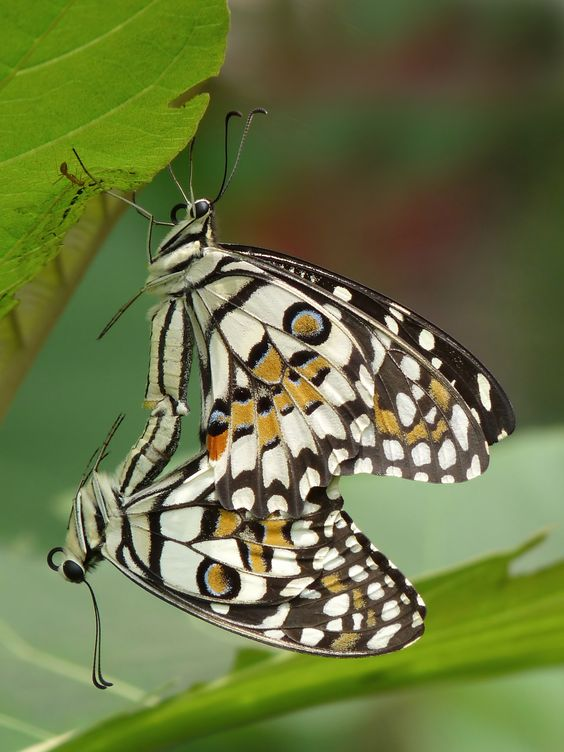 Lime-butterfly: Papilio demoleus - mating in Kadavoor, Kerala, India