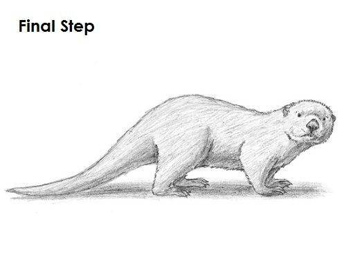 http://www.how2drawanimals.com/images/SeaOtter/draw-sea-otter-last ...