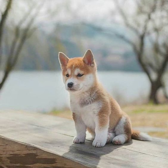 Shiba Inu Puppies Cute Pictures And Facts Dogtime Cute Dogs Cute Puppies Akita Puppies