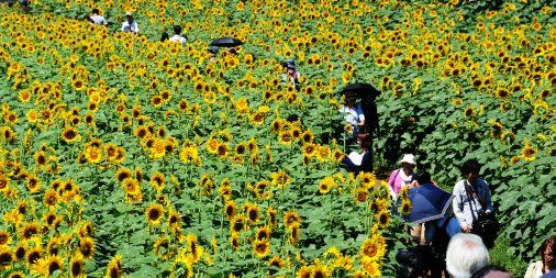 Enjoy Tokyo's beautiful summer at the Kiyose Sunflower Festival. Visitors can see around 100,000 flowers. Tokyo Metropolitan Government, August 2016