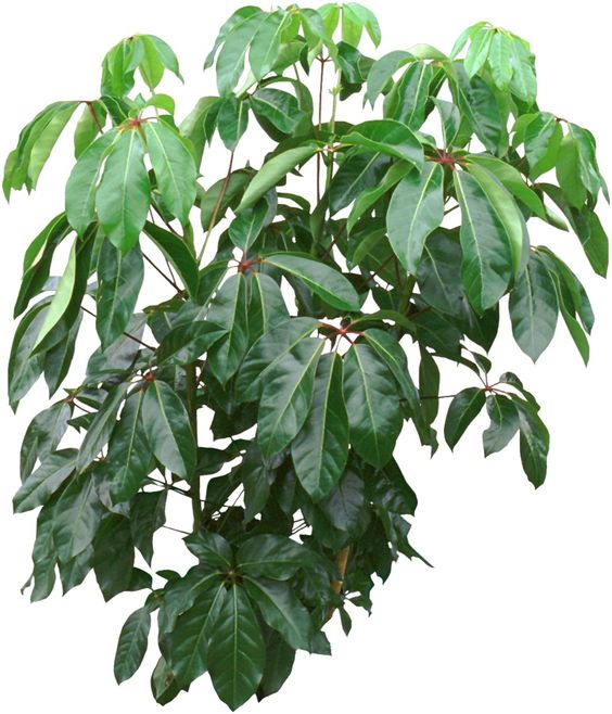 Umbrella Plant Toxic: Trees, The O'jays And Stems On Pinterest