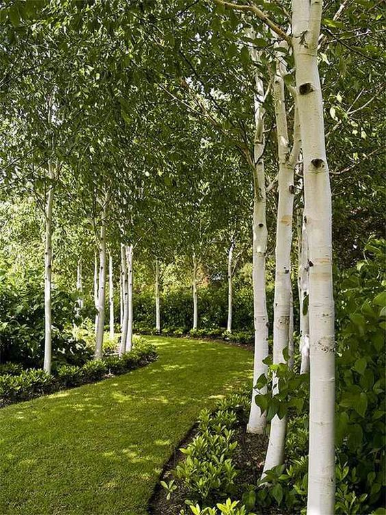 Whitespire birch trees plants trees and shrubs for House garden trees
