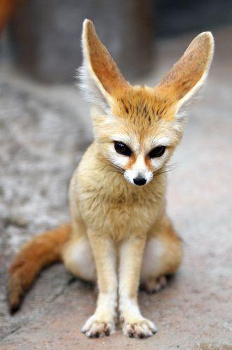 cet animal trop mignon est probablement un fennec renard des sables il a les oreilles un peu. Black Bedroom Furniture Sets. Home Design Ideas