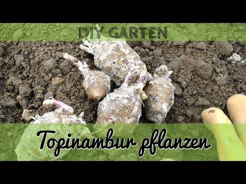 Die Wirkung von Topinambur - grüneliebe