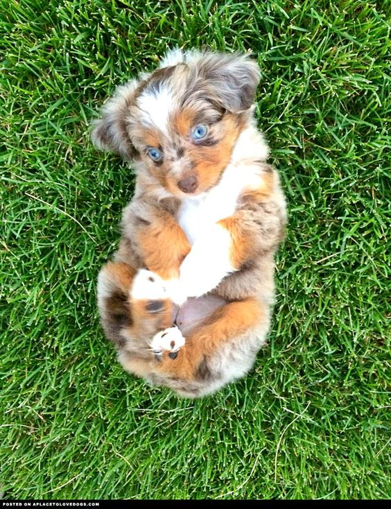 Mini Australian Shepherd Adorableness - A Place to Love Dogs... Riley's new sister!!!