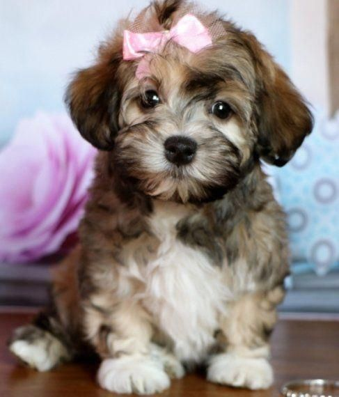 Faith Is A Female Havanese Puppy For Sale At Puppyspot Call Us Today To Learn More Reference Havanese Puppies For Sale Havanese Puppies Puppies And Kitties
