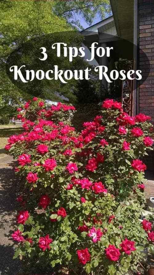 3 Care Tips For Knock Out Roses Gwin Gal Inside And Out Knockout Roses Beautiful Flowers Garden Plants