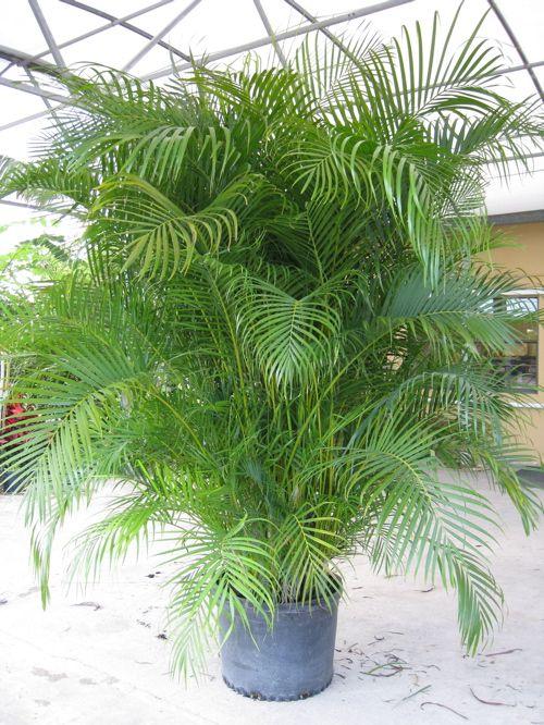 Pinterest the world s catalog of ideas - Real areca palm ...