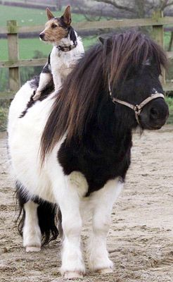 Niamh the Jack Russell goes for a spin on the back of Ivor the Piebald Miniature Shetland Stallion