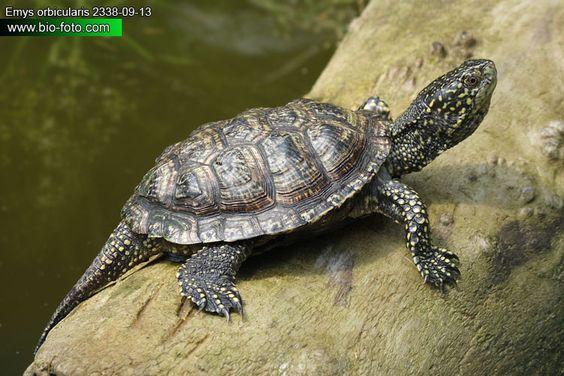 Emys orbicularis - želva bahenní DE: Europäische Sumpfschildkröte UK: European Pond Turtle ES: Galápago europeo IT: testuggine d'acqua CZ: želva bahenní TR: Benekli kaplumbaga FR: Cistude d'Europe PL: Żółw błotny SK: korytnačka močiarna HU: Mocsári teknős