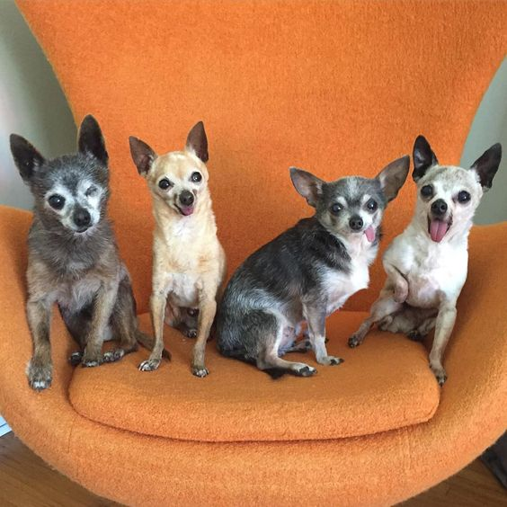 4 Elderly Chihuahua Dogs - Three outta Four ain't Bad