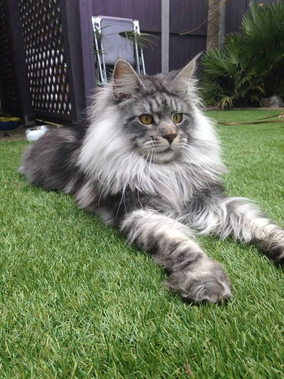 my husband wants a maine coon cat haha ive never own a cat before so that will be new for me :p