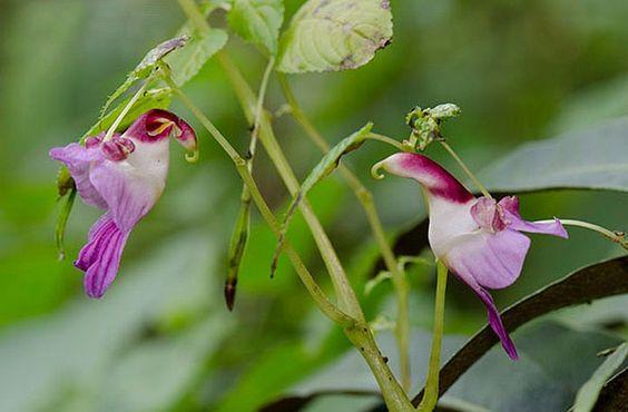 Papagaios (Impatiens Psittacina)Flores incríveis (18)