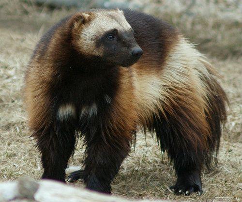 mustelid | mammal | Britannica.com