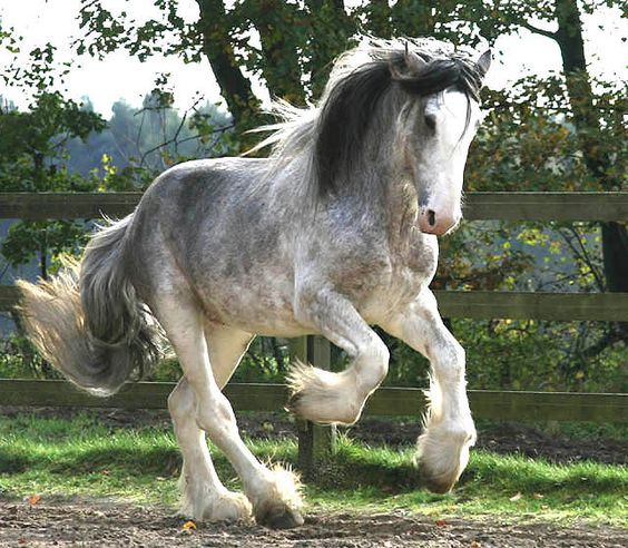 """""""Arclid Landmark"""" from Hare Hill Shire & Clydesdale.  An unusually colored Clydesdale stallion. Most people are used to seeing bays, but they also come in black and some other colors."""