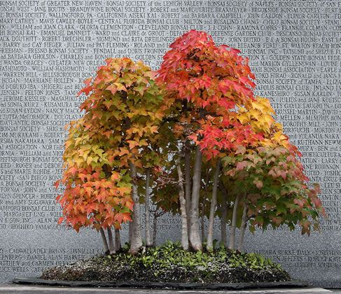 Pinterest the world s catalog of ideas - Arce rubrum bonsai ...