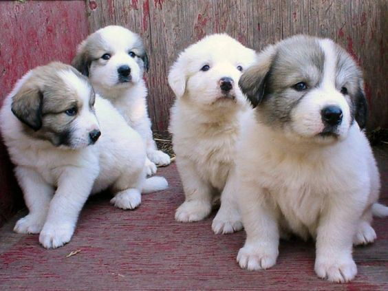 20 Female Great Pyrenees Dog Names Great Pyrenees Puppy Great