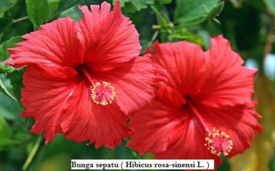 28 Gambar Bunga Kembang Sepatu Beserta Bagian Bagiannya Klasifikasi Dan Morfologi Bunga Sepatu Ilmu Pengetahuan Download 10 B Di 2020 Kembang Sepatu Bunga Tanaman