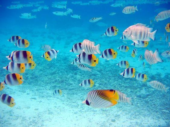 fonds marins poissons papillons fond aquatique pinterest papillons. Black Bedroom Furniture Sets. Home Design Ideas