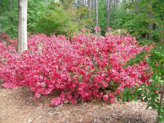 Georgia State Wildflower ~ Azalea