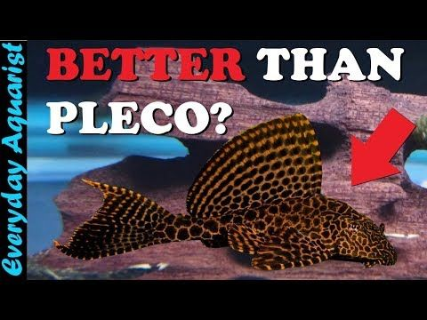 6 Awesome Aquarium Algae Eaters That Aren T Pleco Fish Youtube Pleco Fish Aquarium Algae Aquarium Systems
